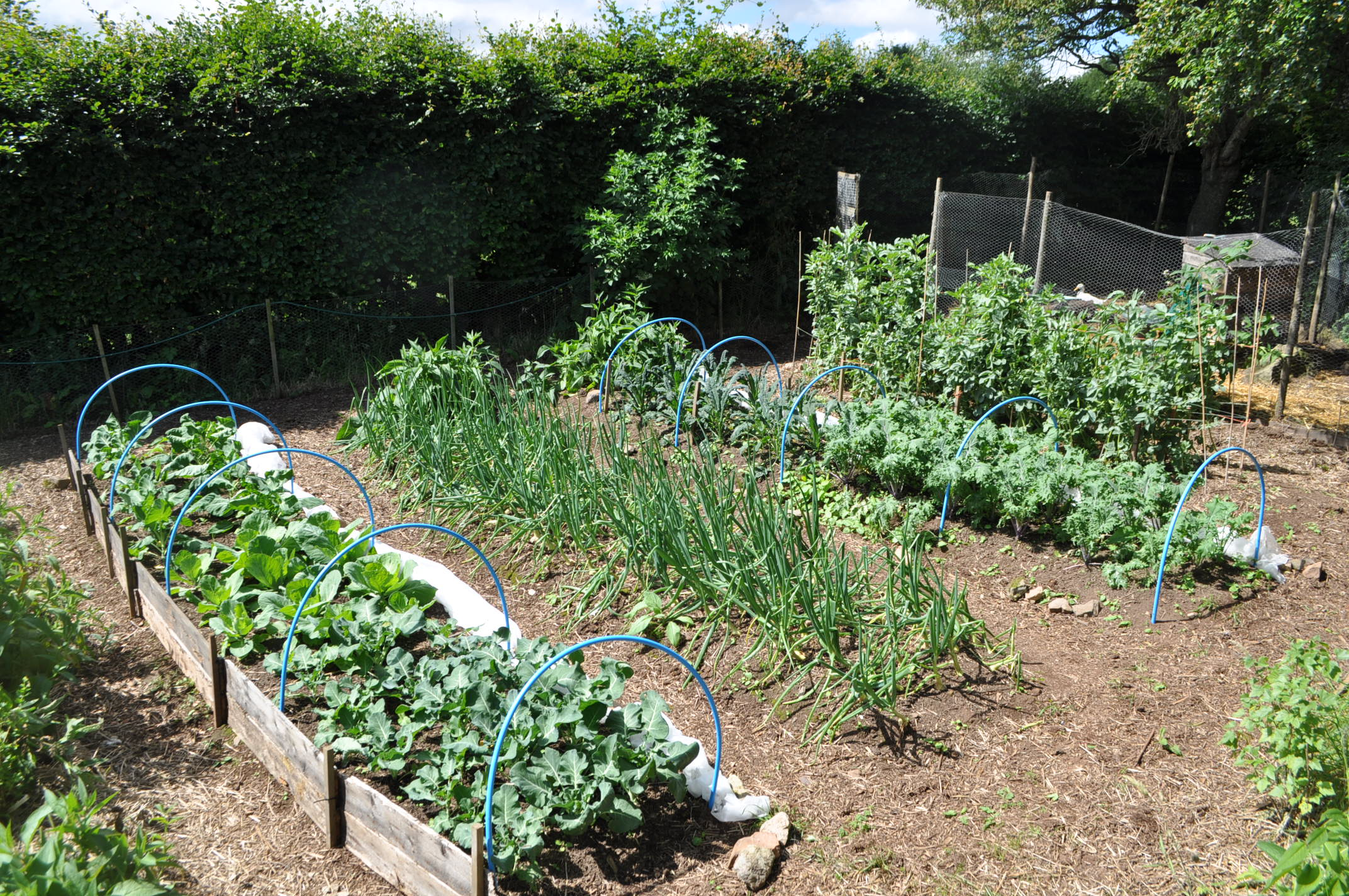 Kitchen Garden Farm Ducks In A Permaculture System Tap O Noth Farm